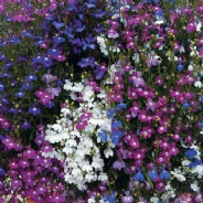 Lobelia Cascade Mix Appx 6,000 seeds